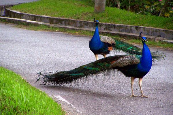 Pawie przechadzające się uliczką w Taman Melawati