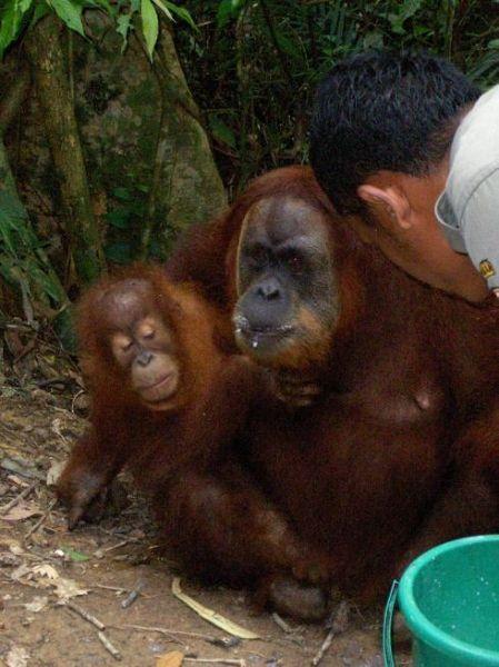 Karmienie orangutanów w sierocińcu w Bukit Lawang