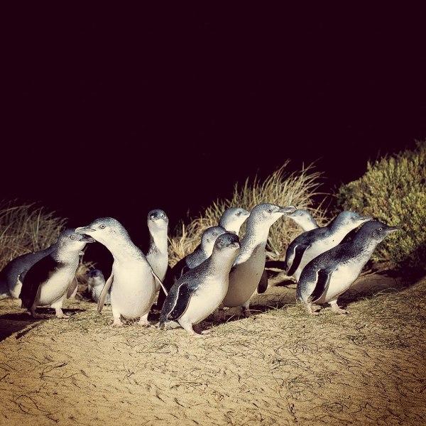 Może minąć blisko godzina, zanim walczącym z falami pingwinom uda wydostać się na piaszczysty brzeg.