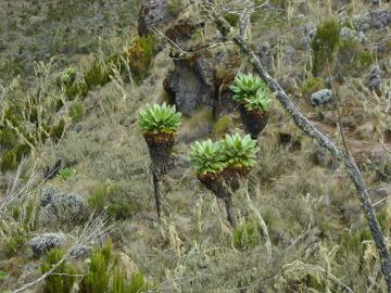 Lobelie i senecio (starcy) – typowa roślinność tego piętra