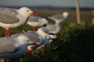 Phillip Island jest pełna najróżniejszych gatunków ptaków