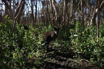 Nie łatwo przedzierać się przez podmokłe terany Phillip Island Wildlife Park.